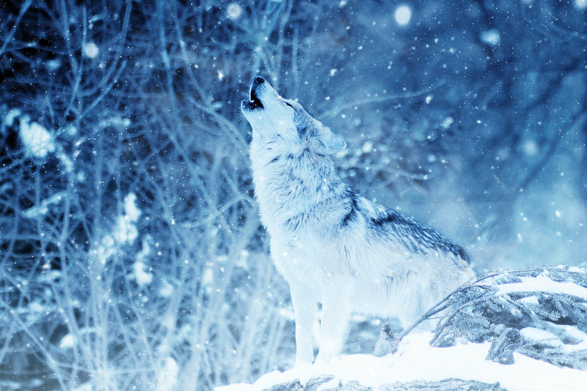 Howling wolf - www.quantum-coaching.net