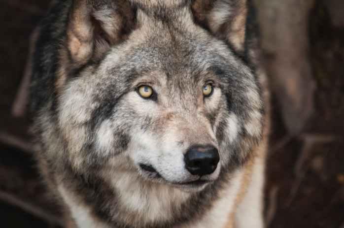 L'histoire des 2 loups - www.quantum-coaching.net